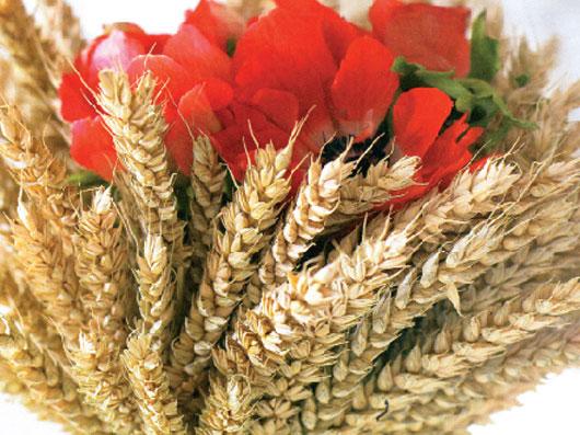 شقايق وحشی و خوشههای گندم طلائی