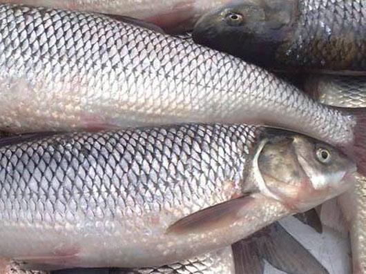 آشنائی با ماهی های دريای خزر (شمال)