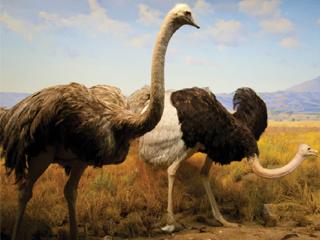 روغن شتر مرغ، رازی از رازهای آفرينش