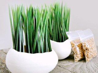 آموزش کاشت سبزه هسته خرما